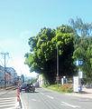 Straße um die Eschersheimer Linde.jpg
