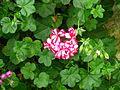 Striped geranium.jpg