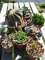 Succulent collection (17498200475).jpg