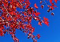 Sun on Oak Leaves, Oak Glen, CA 11-8-14 (15772832171).jpg