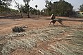 Sundrying date palm leaves for brooms in Dholla ilambazar west bengal India.jpg