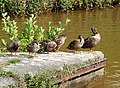 Sunny Ducks, Trent and Mersey Canal - geograph.org.uk - 577592.jpg