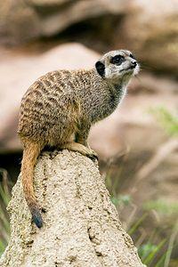 Meerkat On Mound