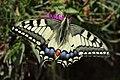 Swallowtail - Papilio machaon (20149730640).jpg
