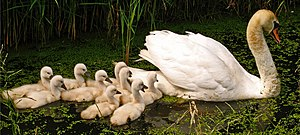 A white swan followed by nine little cygnets