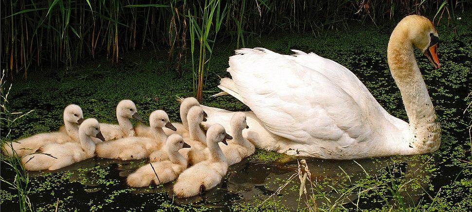 Swan with nine cygnets 3