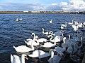 Swans - geograph.org.uk - 340713.jpg