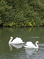 Swans on the River Derwent - geograph.org.uk - 432438.jpg