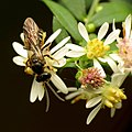 Sweat Bee (30386468304).jpg