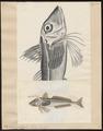 Synancidium horridum - 1700-1880 - Print - Iconographia Zoologica - Special Collections University of Amsterdam - UBA01 IZ13300069.tif