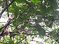Syzygium formosum flowers1.jpg