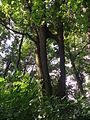 Törzsüknél összenőt fák04 - Hédervár.JPG