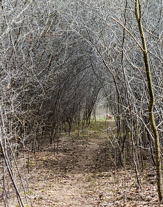 Tree tunnel - Image: Túnel natural, Hartelholz, Múnich, Alemania, 2016 04 03, DD 05
