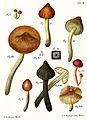 Tab2-Agaricus conicus Schaeff.jpg