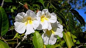 Tabebuia elliptica - Flowers