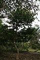 Tabernaemontana orientalis 13zz.jpg