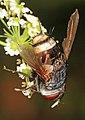 Tachinid - Belvosia species, Suitland Bog Natural Area, Suitland, Maryland (36949529314).jpg