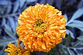 Tagetes erecta Antigua Orange 2zz.jpg