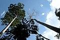 Taman Negara, Malaysia, Tall trees in canopy.jpg