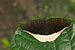 Tanaecia lepidea of Kadavoor.jpg