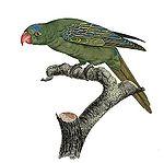 Tanygnathus lucionensis