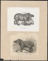 Tapirus americanus - 1700-1880 - Print - Iconographia Zoologica - Special Collections University of Amsterdam - UBA01 IZ22000263.tif