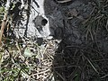 Tarantula u Kambodži.jpg