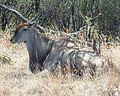 Taurotragus oryx, Phakama, a.jpg