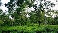 Tea garden at Rangapani teas estate 4.jpg