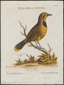Telophorus gutturalis - 1700-1880 - Print - Iconographia Zoologica - Special Collections University of Amsterdam - UBA01 IZ16600483.tif