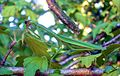 Tenodera sinensis camouflaged.jpg