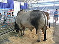 Texas State Fair cattle Brahman.jpg