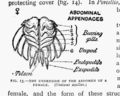 The British Woodlice 08.png