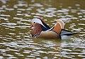 The Mandarin Duck of St. Ferdinand Park (45767799741).jpg