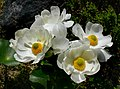 The Mount Cook lily. (14062600890).jpg