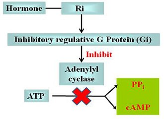 G protein–coupled receptor - The effect of Ri and Gi in cAMP signal pathway
