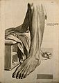 The muscles of the lower leg. Engraving after G. de Lairesse Wellcome V0007762.jpg