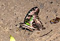 The tailed jay (Graphium agamemnon) (24472661755).jpg