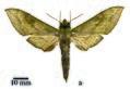 Theretra ankae holotype (Ethiopia, Asosa) (SMCR) male upperside.jpg