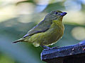 Thick-billed Euphonia female RWD5.jpg