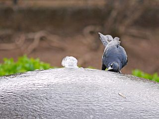 Nicaraguan grackle species of bird