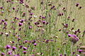 Thistles in the Swan Lake NSA 2.jpg