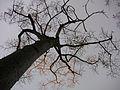 Thorn Tree at golden hour (Palo Borracho) (507028686).jpg