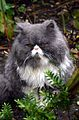Thoughtful Persian Cat.jpg