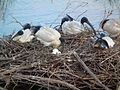 Threskiornis molucca -Coolart Wetlands, Mornington Peninsula, Australia -nest and eggs-8.jpg