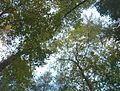 Through the Canopy - Cherry Hill - panoramio.jpg