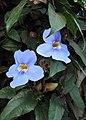 Thunbergia grandiflora 06.JPG