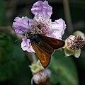 Thymelicus acteon-201606171.jpg