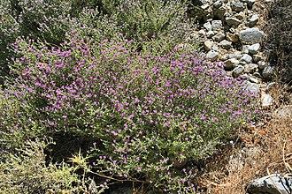 Thymus capitatus - Image: Thymus capitatus in Crete
