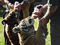Tiger hand rearing.JPG